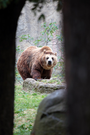 View of a brown bear, Ursus arctos, seen from inside a cave.\ The animal is looking at the camera