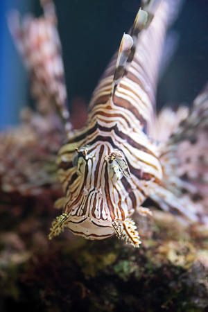 pterois volitans: A red lionfish, Pterois volitans, is a venomous coral reef fish from Indian and Pacific Oceans