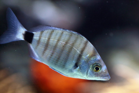 striated: A striated fish swimming in aquarium