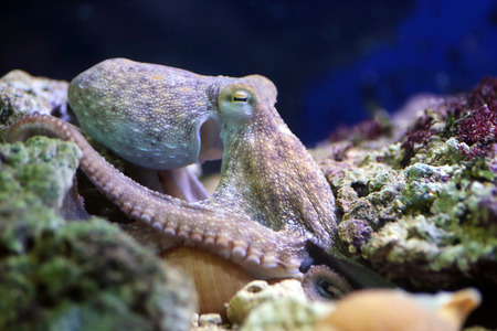 black octopus: A common octopus, Octopus vulgaris, is resting on a reef