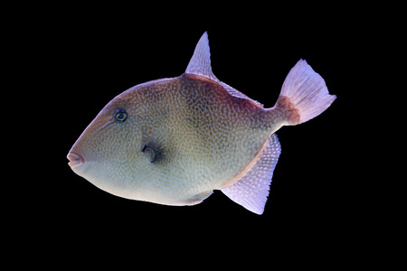triggerfish: Grey triggerfish, Balistes capriscus, isolated on a black background Stock Photo