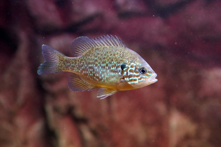 A pumpkinseed sunfish, Lepomis gibbosus, a freshwater fish living in warm lakes