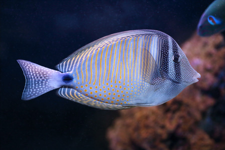 A red Sea sailfin tang, Zebrasoma desjardinii, also known as Desjardin sailfin tang, is a marine reef fish from tropical water of Indian Ocean photo