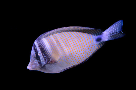 sailfin: A red Sea sailfin tang, Zebrasoma desjardinii, isolated on black background