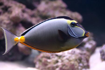 An elegant unicornfish, Naso elegans, swimming in a tropical marine water aquarium photo