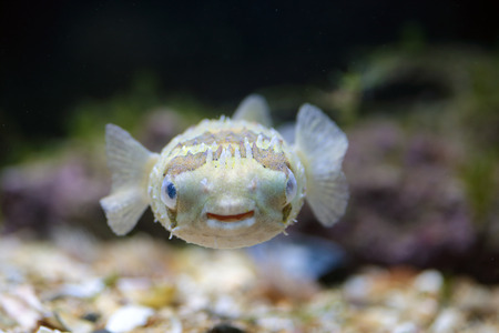 blowfish: A small porcupinefish, also commonly known as blowfish, swimming near the bottom in a tank