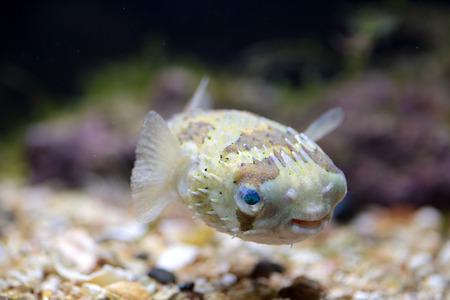pez globo: Un peque�o Porcupinefish, tambi�n conocido com�nmente como pez globo, nadando cerca del fondo en un tanque