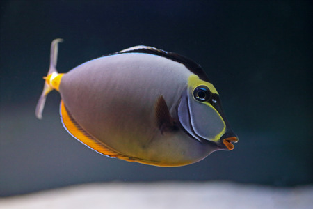 An elegant unicornfish, Naso elegans, swimming in a tropical marine water aquarium Stock Photo