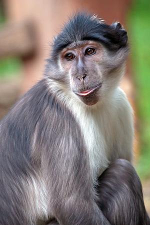 Portrait of a sooty mangabey monkey (Cercocebus atys lunulatus)