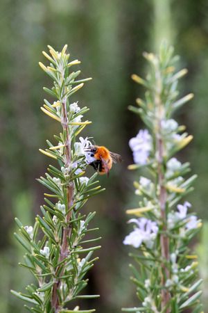bombus: A rosemary (Rosmarinus officinalis) shrub with flowers and a bumblebee (Bombus terrestris) collecting pollen