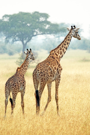 A young giraffe and his mother (Giraffa camelopardalis) walking into savannah in Serengeti National Park, Tanzania