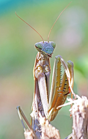 european mantis: Frontal view of an european praying mantis, Mantis religiosa, on a twig