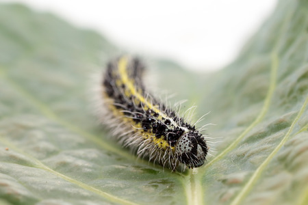 Frontal view of a caterpillar of small cabbage, Pieris rapae, white butterfly on a leaf of savoy cabbage photo