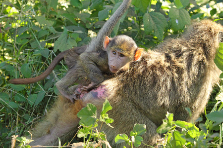 A baby olive baboon, Papio Anubis, on the back of his mother walking in the vegetation in Lake Manyara National Park, Tanzania photo