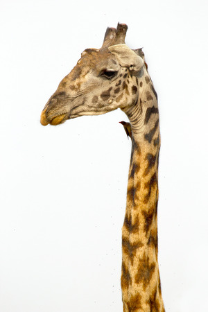 distinguishing: The long neck of a Giraffe (Giraffa camelopardalis) on a white sky as background. Its extremely long neck is a chief distinguishing characteristic of this animal