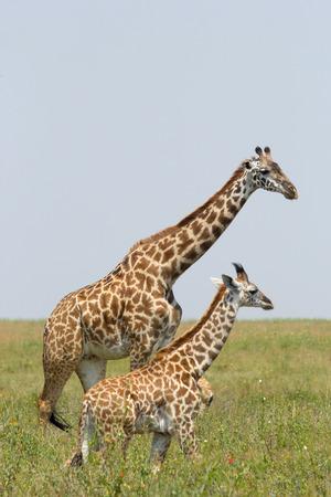 reticulated giraffe: A young giraffe and his mother (Giraffa camelopardalis) Stock Photo