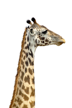 distinguishing: The long neck of a Giraffe (Giraffa camelopardalis) on a white sky as background. Its long neck is a chief distinguishing characteristic of this animal