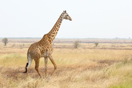 A giraffe (Giraffa camelopardalis) walking