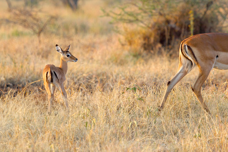 mother and baby deer: A newborn baby impala, Aepyceros melampus, looking at the mother moving away in Serengeti National Park, Tanzania Stock Photo