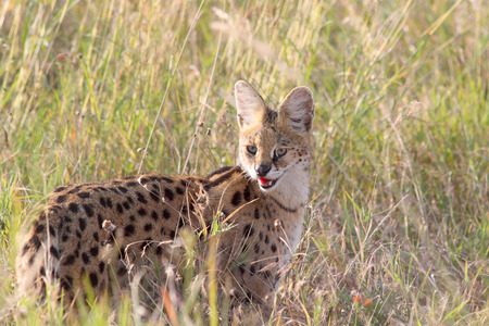 A serval, Leptailurus serval, in the savannah of Serengeti National Park, Tanzania. This medium-sized African wild cat is an elusive nocturnal predator