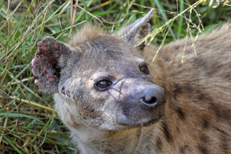 Portrait of a spotted hyena, Crocuta crocuta. Also unknown as laughing hyena it is a scavenger predator of the savannah photo