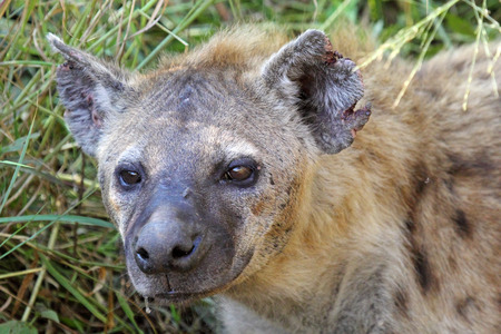scavenger: Portrait of a spotted hyena, Crocuta crocuta. Also unknown as laughing hyena it is a scavenger predator of the savannah