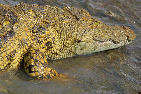 niloticus: A young Nile Crocodile, Crocodylus niloticus, in the water in Serengeti National Park, Tanzania