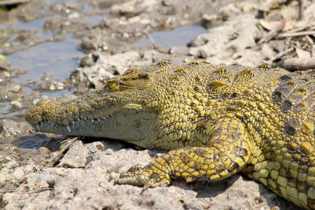 niloticus: A young Nile Crocodile, Crocodylus niloticus, near the water in Serengeti National Park, Tanzania