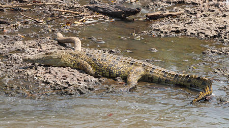 niloticus: A young Nile Crocodile, Crocodylus niloticus, resting on the bank of a river in Serengeti National Park, Tanzania