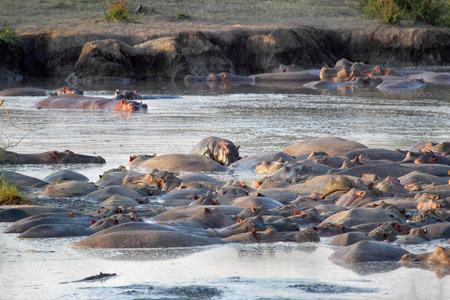 Group of hippos (Hippopotamus amphibius) resting in a pool in Serengeti National Park, Tanzania Stock Photo