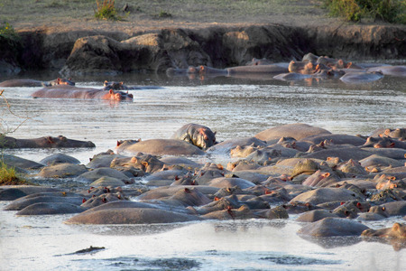 Group of hippos (Hippopotamus amphibius) resting in a pool in Serengeti National Park, Tanzania Stock Photo