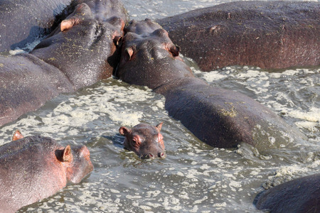 amphibius: Baby hippo (Hippopotamus amphibius) in the middle of other adults in a pool in Serengeti National Park, Tanzania