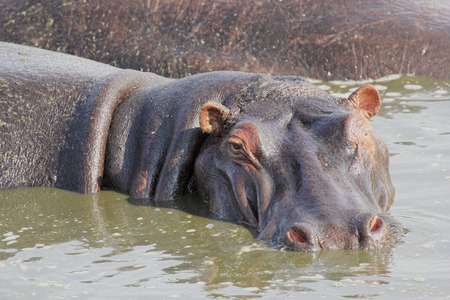 amphibius: Portrait of a hippo (Hippopotamus amphibius) in a pool in Serengeti National Park, Tanzania