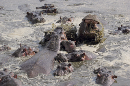 amphibius: Baby hippo (Hippopotamus amphibius) in the middle of a fight between males in Serengeti National Park, Tanzania