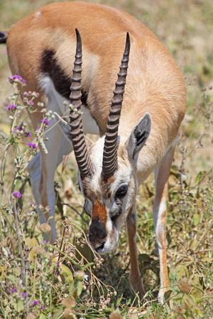 gazelle: A Thomsons gazelle (Eudorcas thomsonii) grazing in Serengeti National Park, Tanzania