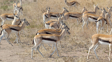 tanzania antelope: A herd of Thomsons gazelle (Eudorcas thomsonii) walking in Serengeti National Park, Tanzania