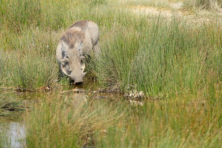 bush hog: A warthog, Phacochoerus africanus, drinking from a pond in Serengeti National Park, Tanzania