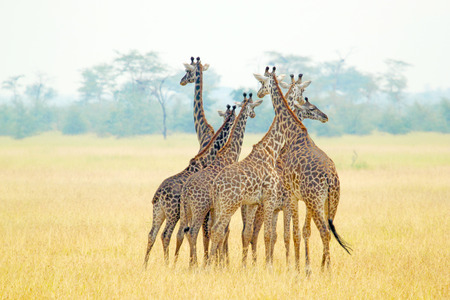 A group of giraffes (Giraffa camelopardalis) in Serengeti National Park, Tanzania