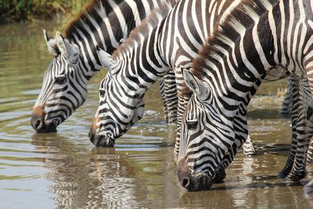 caballo bebe: Un grupo de cebras comunes, Equus Quagga, bebiendo de un pozo de agua en el Parque Nacional del Serengeti, Tanzania Foto de archivo