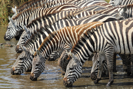 A group of common zebras, Equus Quagga, drinking from a waterhole in Serengeti National Park, Tanzania Stock Photo
