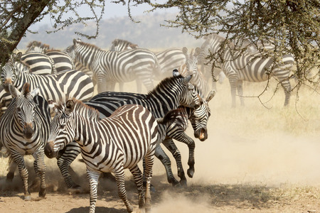 A group of restless common zebras, Equus Quagga, with fighting males in the shade of a tree in Serengeti National Park, Tanzania