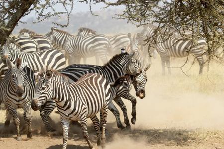 cebra: Un grupo de cebras comunes inquietas, Equus Quagga, con machos de combate a la sombra de un �rbol en el Parque Nacional del Serengeti, Tanzania Foto de archivo