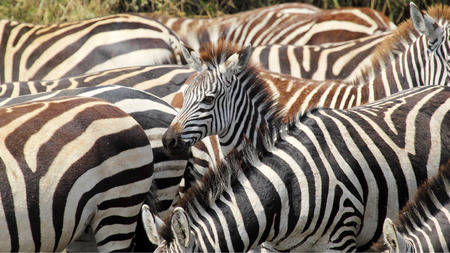 A baby common zebras, Equus Quagga, surrounded by the herd in Serengeti National Park, Tanzania