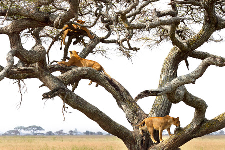 A pride of lioness, Panthera Leo, resting on a tree in Serengeti National Park, Tanzania Stock Photo