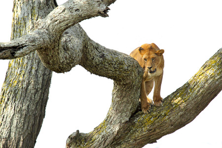 panthera leo: A lioness, Panthera Leo, climbing a tree in Serengeti National Park, Tanzania