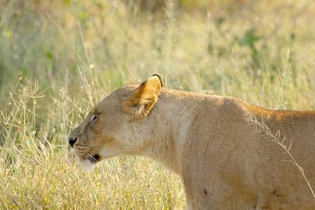 panthera leo: A lioness, Panthera Leo, walking in the grass of the savannah in Serengeti National Park, Tanzania