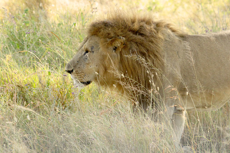 adult kenya: A male lion, Panthera Leo, walking in the grass of the savannah in Serengeti National Park, Tanzania