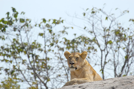 panthera leo: A lioness, Panthera Leo, resting on a rock in Serengeti National Park, Tanzania Stock Photo