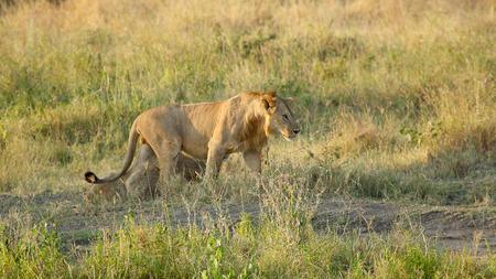 panthera leo: A young male lion, Panthera Leo, walking in the savannah in Serengeti National Park, Tanzania Stock Photo