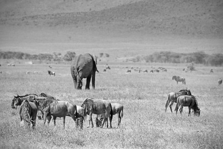 loxodonta africana: Black and white image of an african elephant, Loxodonta Africana, walking in the middle of a herd of blue wilebeest, Connochaetes taurinus, in Ngorongoro Conservation Area, Tanzania